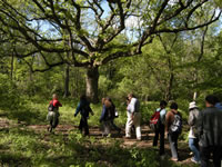 A group of people walks single file along a trail under a large oak tree with wide spreading branches.