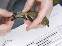 A researcher carefully holds a songbird to collect banding data.