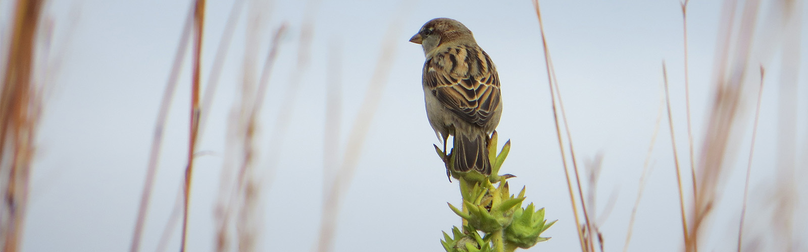 A sparrow sits on a Compass Plant stalk.