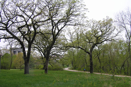 Oaks In Willow Creek Woods Photo By Adam Gundlach
