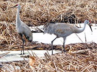 Two Sandhill cranes stand next to each other in snow covered cattails.