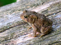 A little brown toad sits on a log.