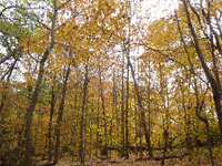 Tall straight sugar maple trees in bright yellow fall color.